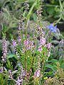 Calluna vulgaris harilik kanarbik 01 estonia.JPG