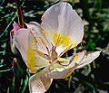 Calochortus persistens (Siskiyou mariposa lily) (32317283263).jpg