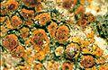 Caloplaca sideritis-1.jpg