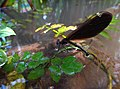 Calopteryx IMG 6400^.jpg