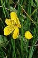 Caltha palustris - geograph.org.uk - 1311343.jpg