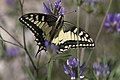 Calvisson-Papilio machaon-20130627.jpg