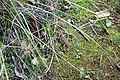 Camaleón -Phrynosoma sp - panoramio (1).jpg