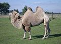 Camelus-bactrianus.jpg