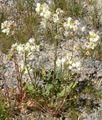 Camissonia claviformis form.jpg