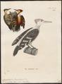 Campephilus validus - - Print - Iconographia Zoologica - Special Collections University of Amsterdam - UBA01 IZ18700137.tif