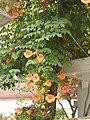Campsis grandiflora 09.JPG