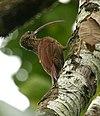 Campylorhamphus trochilirostris -NW Ecuador-8