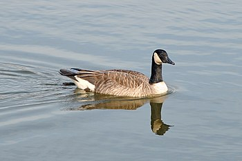English: Canada Goose (Branta canadensis) swim...