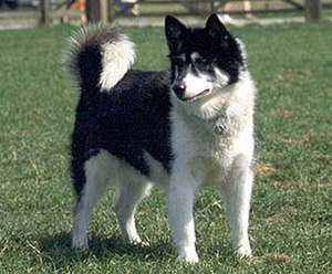 Canadian Eskimo Dog - Canadian Inuit Dog