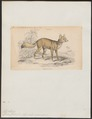 Canis corsac - 1833-1866 - Print - Iconographia Zoologica - Special Collections University of Amsterdam - UBA01 IZ22200041.tif