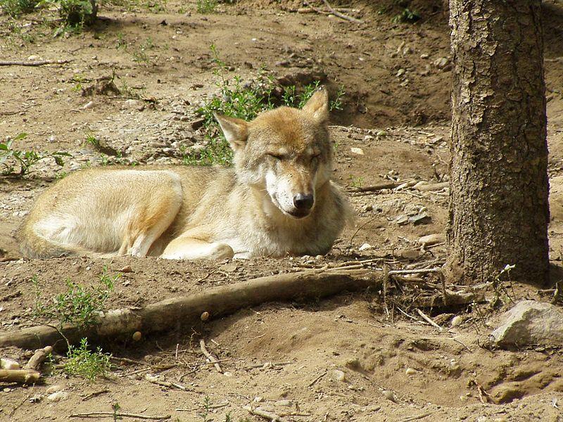 Soubor:Canis lupus lupus.jpg