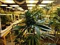 Cannabis in a commercial grow facility.jpg