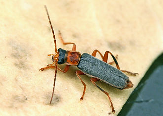 Cantharis - Cantharis lateralis