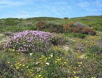 Cape Flats Dune Strandveld - Cape Flats Dune Strandveld growing on the sand dunes of False Bay, Cape Town.