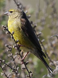Cape siskin species of bird