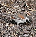 Cape Sparrow (Passer melanurus) male (32765435996).jpg