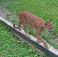 Caracas zoo pumas.jpg