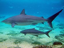 A large gray shark swimming over sand and scattered rocks, being shadowed by a smaller fish with a horizontal stripe and a forked tail