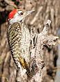 Cardinal Woodpecker - MALE.jpg