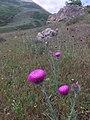 Carduus uncinatus 111354110.jpg
