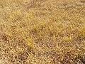 Carex aquatilis plant (15).jpg