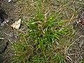 Carex demissa plant (6).jpg