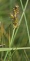 Carex echinata inflorescens (16).jpg