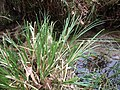 Carex paniculata plant (17).jpg