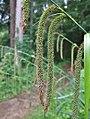 Carex pendula inflorescens (45).jpg