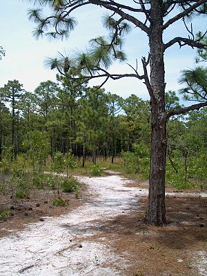 Carolina Beach State Park - A sandy trail in Carolina Beach State Park