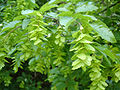 Carpinus orientalis foliage Bulgaria 2.jpg