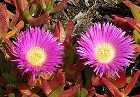Description de l'image Carpobrotus edulis.JPG.