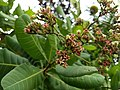 Cashew tree (Anacardium occidentale). കശുമാവ്.Flower 2.jpg