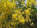 Cassia fistula flowers 6.jpg