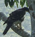 Cassin's Hawk-Eagle - Ghana (cropped).jpg