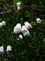Cassiope mertensiana 18388.JPG