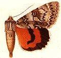 Catocola semirelicta.JPG