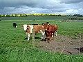 Cattle - geograph.org.uk - 432897.jpg