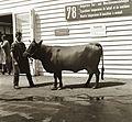 Cattle Fortepan 92305.jpg