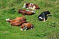 Cattle in Hüttschlag 05.jpg