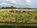 Cattle near Poolham Hall - geograph.org.uk - 580528.jpg