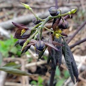 Caulophyllum giganteum SCA-01241.jpg
