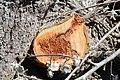 Cavités dans des bûches de peuplier blanc (67).JPG