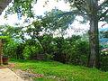 Ceiba típica de la flora de Huehuetla, Puebla 04.JPG