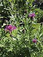 Centaurea scabiosa L. s.l. (Asteraceae)-1F.jpg