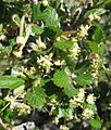 Cercocarpus montanus 2.jpg