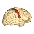 Cerebrum - precentral gyrus - lateral view.png