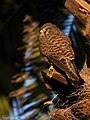 Cernicalo vulgar (Falco tinnunculus canariensis) Joven. (4279773022).jpg