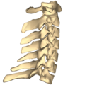 Cervical vertebrae - close-up - lateral view.png